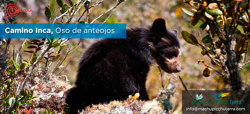 oso de anteojos camino inca