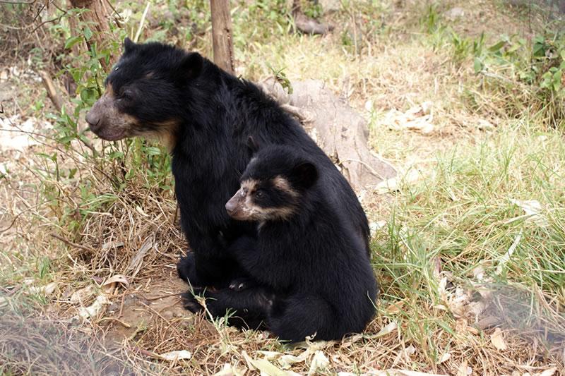 oso de anteojos Machu Picchu