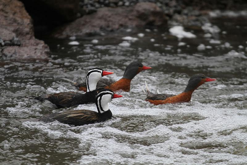 Duck of the torrents Inca Trail Machu Picchu