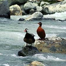 Pato de los Torrentes en el Camino Inca
