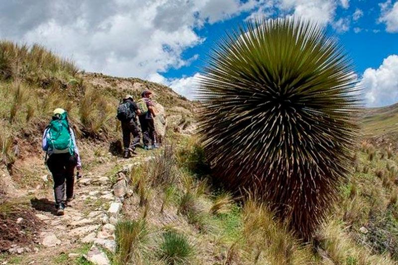 Puyas en el camino inca Machu Picchu