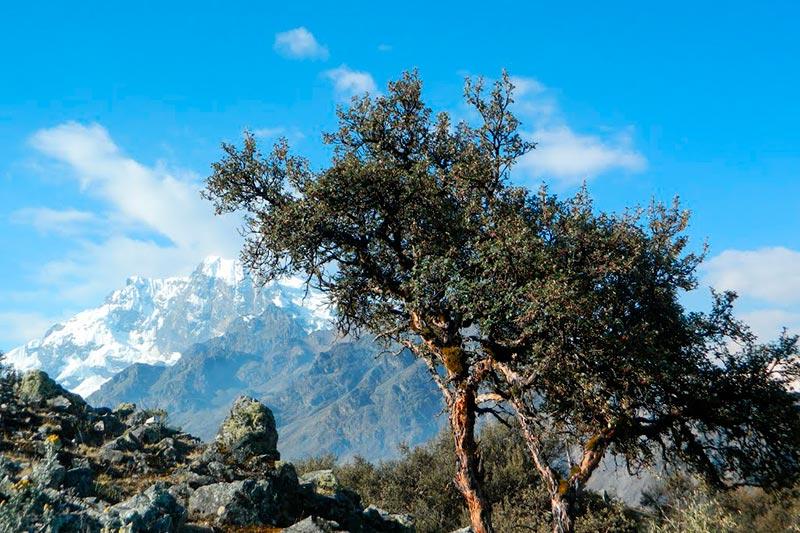Queñual en el camino inca Machu Picchu
